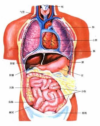 organ dalam